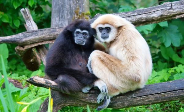 Image result for hoolock gibbon