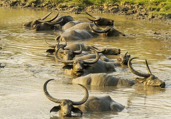 wild Asiatic water buffalo