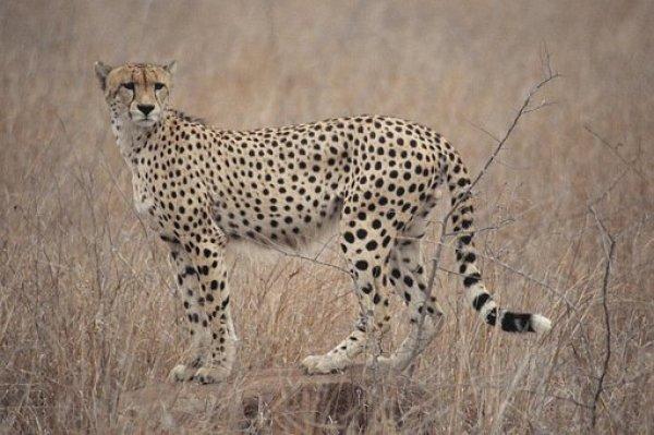 cheetah FP