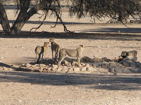 cheetahs kalahari