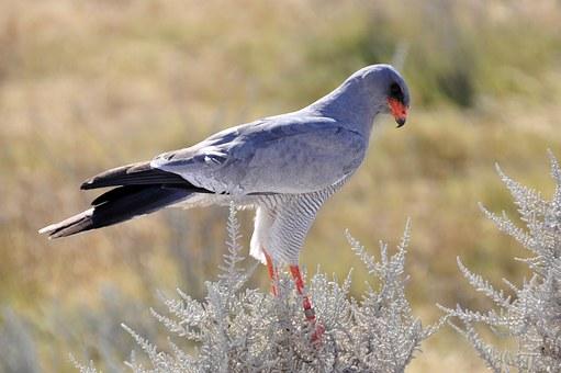 kalahari falcon