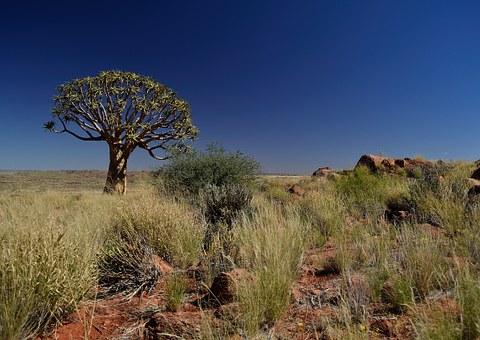 kalahari quiver-tree