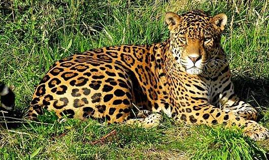 panthera-onca-jaguar