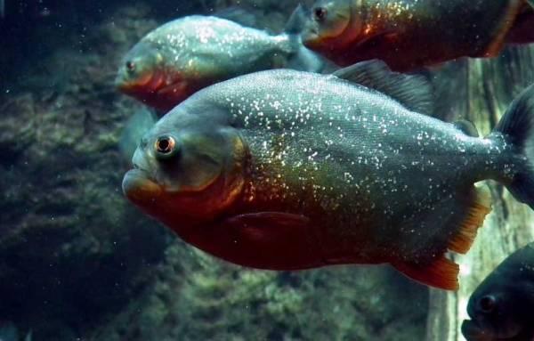 Piranha-Shoal
