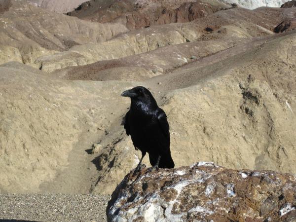 raven-death-valley