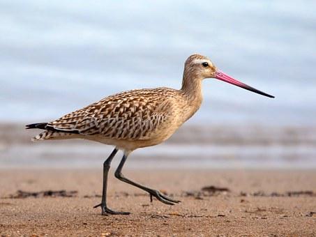 bar-tailed-godwit