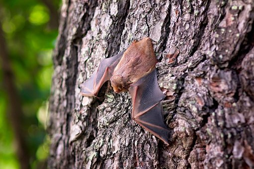 grand canyon bat