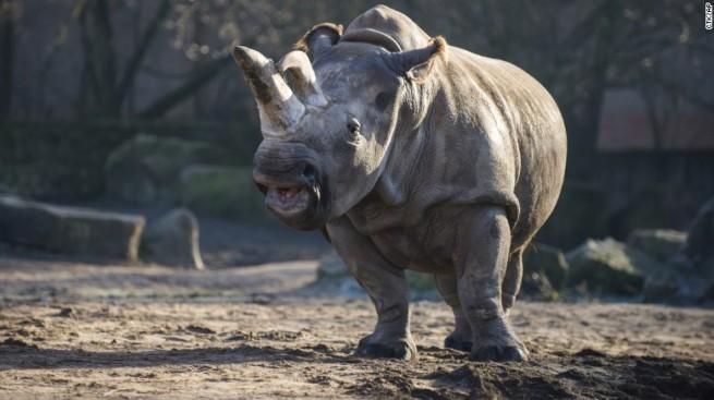 northrn white-rhino