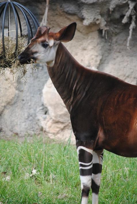 Virunga National Park Okapi