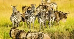 widebeests and zebras