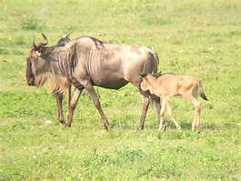 wildebeests and calf 2